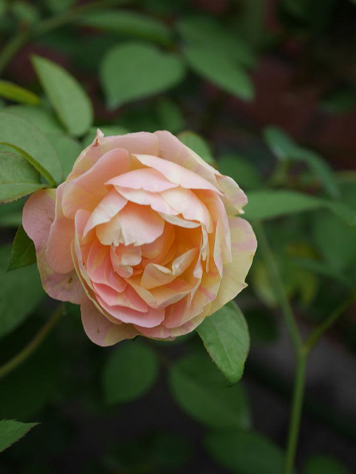 サムズ・アップ(Thumbs Up)の2番花がまた咲いた。半ツルバラ。2020年-022.jpg