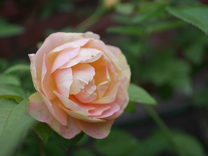 サムズ・アップ(Thumbs Up)の2番花がまた咲いた。半ツルバラ。2020年-023.jpg