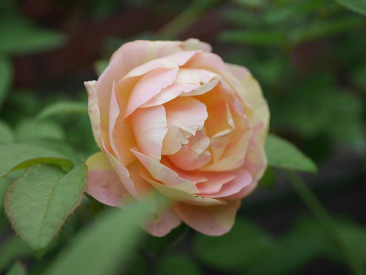 サムズ・アップ(Thumbs Up)の2番花がまた咲いた。半ツルバラ。2020年-024.jpg
