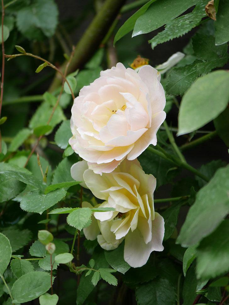 サムズ・アップ(Thumbs Up)の2番花が咲いた。半ツルバラ。2020年-002.jpg