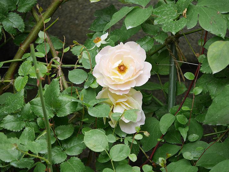 サムズ・アップ(Thumbs Up)の2番花が咲いた。半ツルバラ。2020年-003.jpg