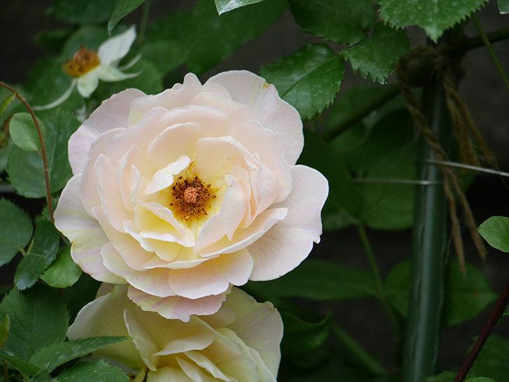 サムズ・アップ(Thumbs Up)の2番花が咲いた。半ツルバラ。2020年-004.jpg
