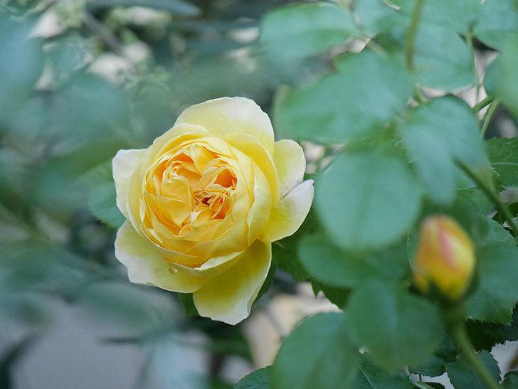 サムズ・アップ(Thumbs Up)の花がたくさん咲いた。半ツルバラ。2021年-001.jpg