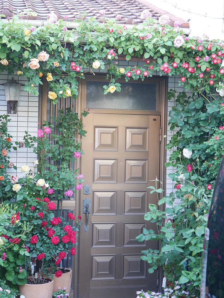 サムズ・アップ(Thumbs Up)の花がたくさん咲いた。半ツルバラ。2021年-003.jpg