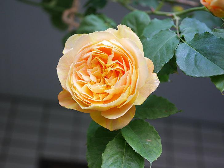 サムズ・アップ(Thumbs Up)の花がたくさん咲いた。半ツルバラ。2021年-004.jpg