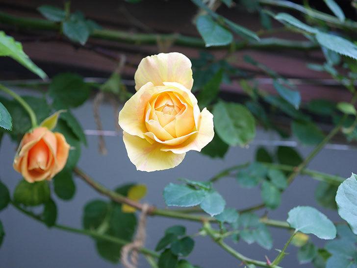 サムズ・アップ(Thumbs Up)の花がたくさん咲いた。半ツルバラ。2021年-005.jpg