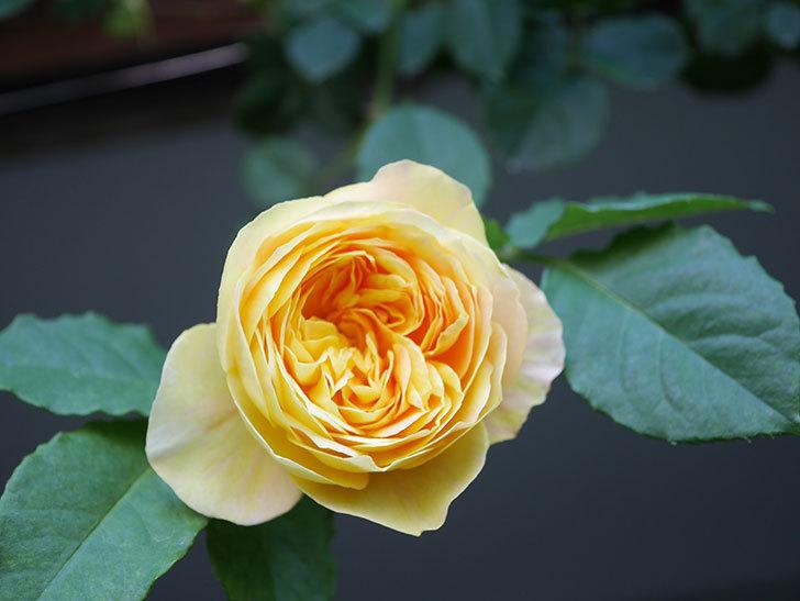 サムズ・アップ(Thumbs Up)の花がたくさん咲いた。半ツルバラ。2021年-007.jpg