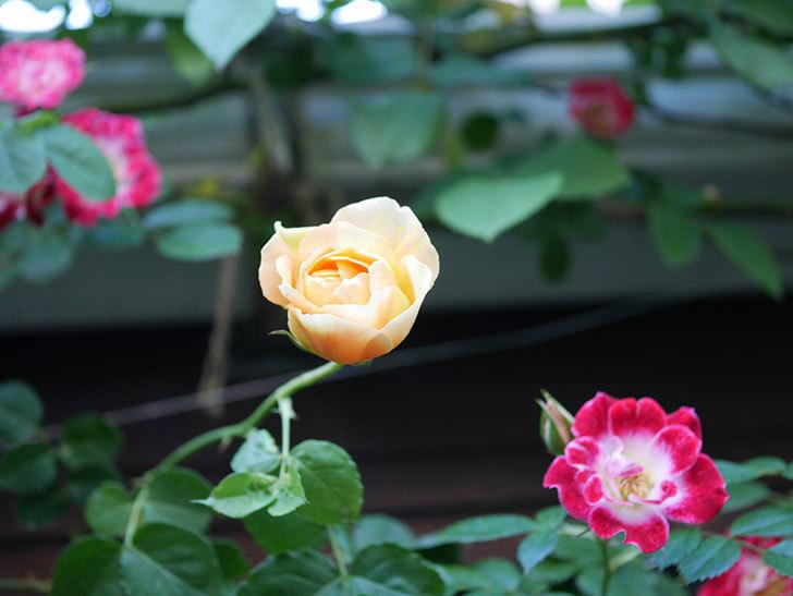 サムズ・アップ(Thumbs Up)の花がたくさん咲いた。半ツルバラ。2021年-008.jpg