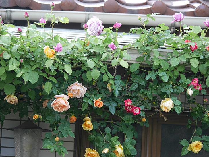 サムズ・アップ(Thumbs Up)の花がたくさん咲いた。半ツルバラ。2021年-009.jpg