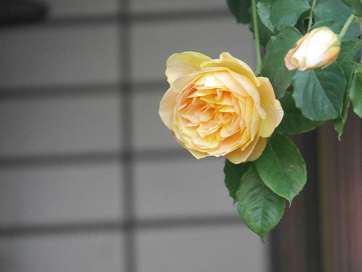 サムズ・アップ(Thumbs Up)の花がたくさん咲いた。半ツルバラ。2021年-010.jpg