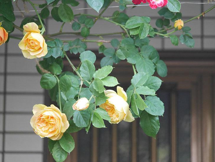 サムズ・アップ(Thumbs Up)の花がたくさん咲いた。半ツルバラ。2021年-011.jpg