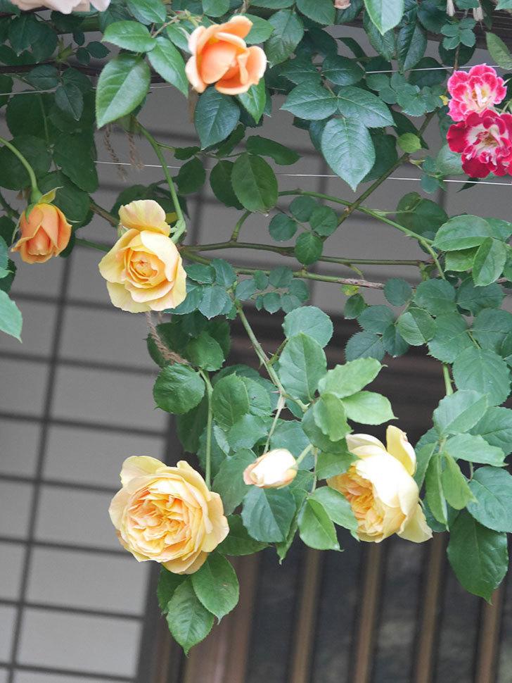 サムズ・アップ(Thumbs Up)の花がたくさん咲いた。半ツルバラ。2021年-012.jpg