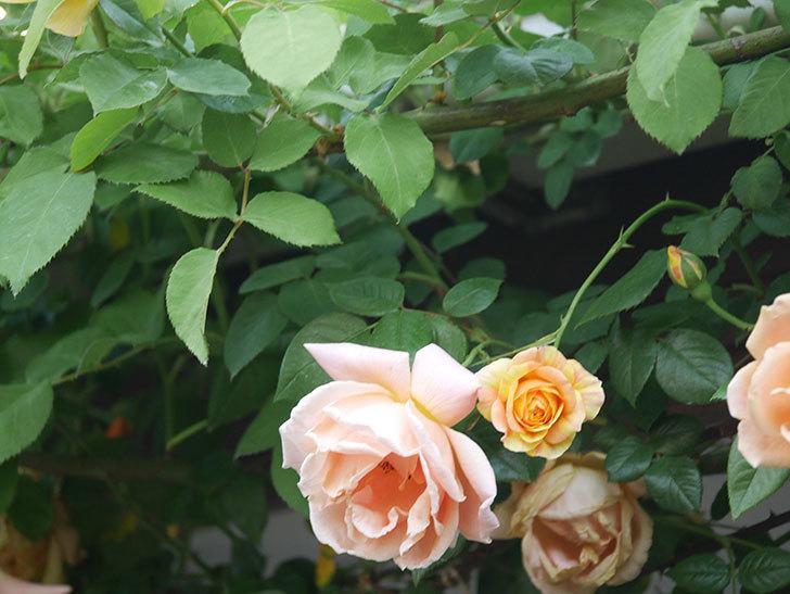 サムズ・アップ(Thumbs Up)の花がたくさん咲いた。半ツルバラ。2021年-013.jpg