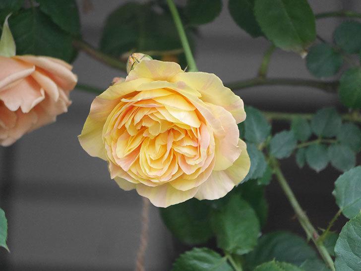 サムズ・アップ(Thumbs Up)の花がたくさん咲いた。半ツルバラ。2021年-016.jpg