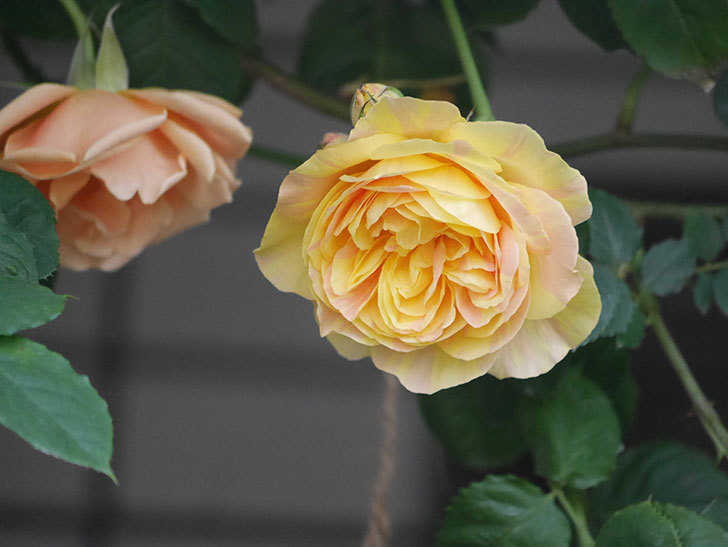 サムズ・アップ(Thumbs Up)の花がたくさん咲いた。半ツルバラ。2021年-017.jpg