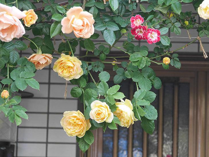 サムズ・アップ(Thumbs Up)の花がたくさん咲いた。半ツルバラ。2021年-018.jpg