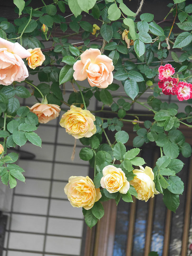 サムズ・アップ(Thumbs Up)の花がたくさん咲いた。半ツルバラ。2021年-019.jpg