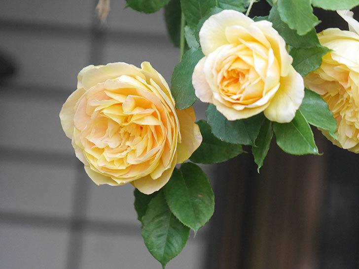 サムズ・アップ(Thumbs Up)の花がたくさん咲いた。半ツルバラ。2021年-020.jpg