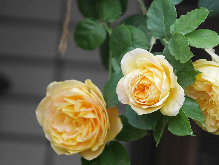 サムズ・アップ(Thumbs Up)の花がたくさん咲いた。半ツルバラ。2021年-021.jpg