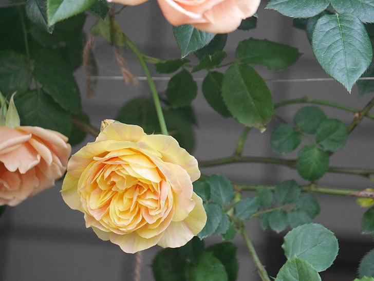 サムズ・アップ(Thumbs Up)の花がたくさん咲いた。半ツルバラ。2021年-022.jpg