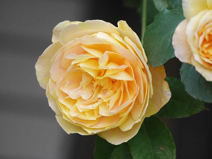 サムズ・アップ(Thumbs Up)の花がたくさん咲いた。半ツルバラ。2021年-023.jpg