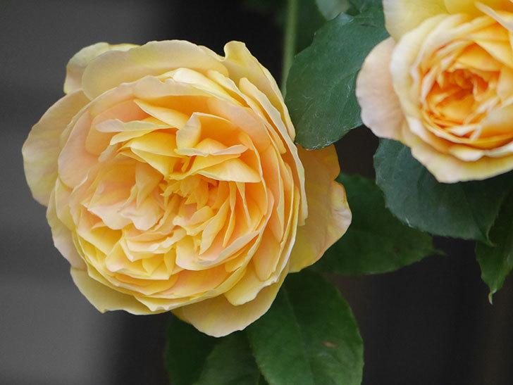 サムズ・アップ(Thumbs Up)の花がたくさん咲いた。半ツルバラ。2021年-024.jpg
