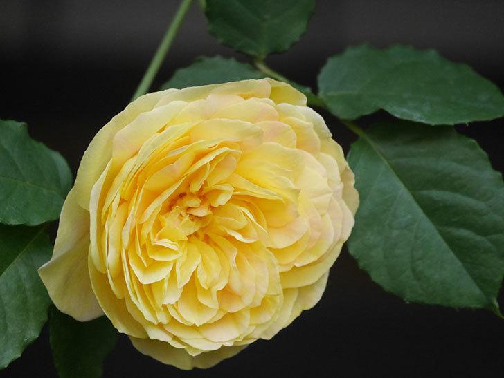 サムズ・アップ(Thumbs Up)の花がたくさん咲いた。半ツルバラ。2021年-025.jpg
