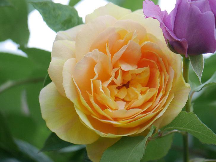 サムズ・アップ(Thumbs Up)の花がたくさん咲いた。半ツルバラ。2021年-026.jpg