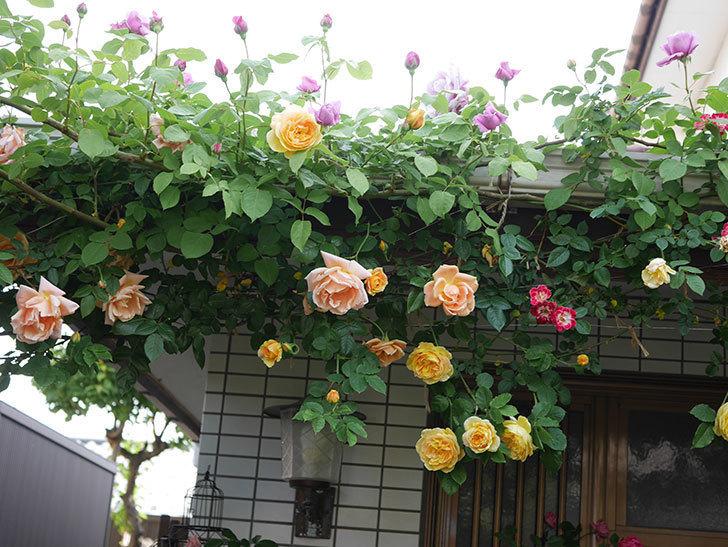 サムズ・アップ(Thumbs Up)の花がたくさん咲いた。半ツルバラ。2021年-027.jpg