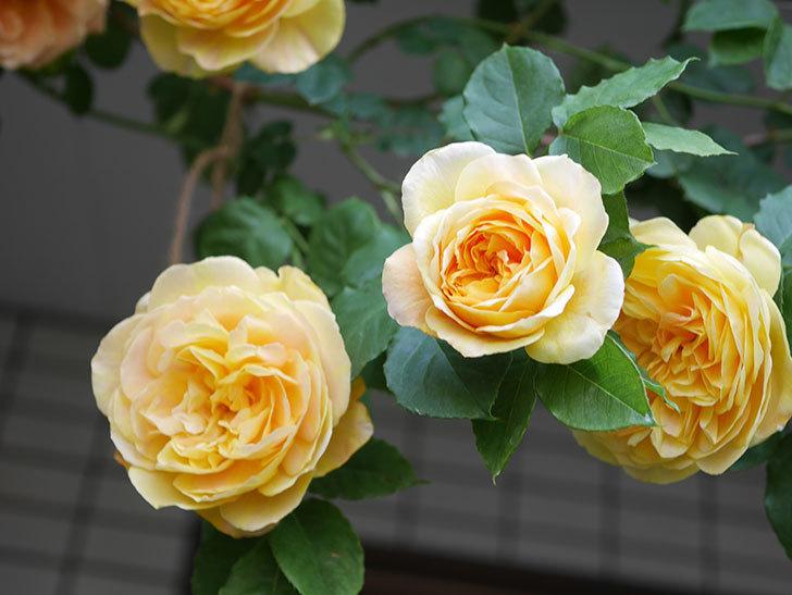 サムズ・アップ(Thumbs Up)の花がたくさん咲いた。半ツルバラ。2021年-028.jpg