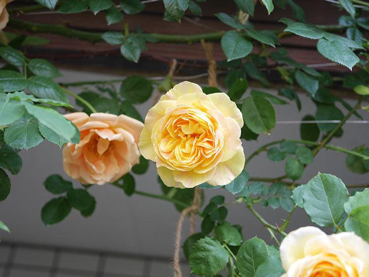 サムズ・アップ(Thumbs Up)の花がたくさん咲いた。半ツルバラ。2021年-029.jpg
