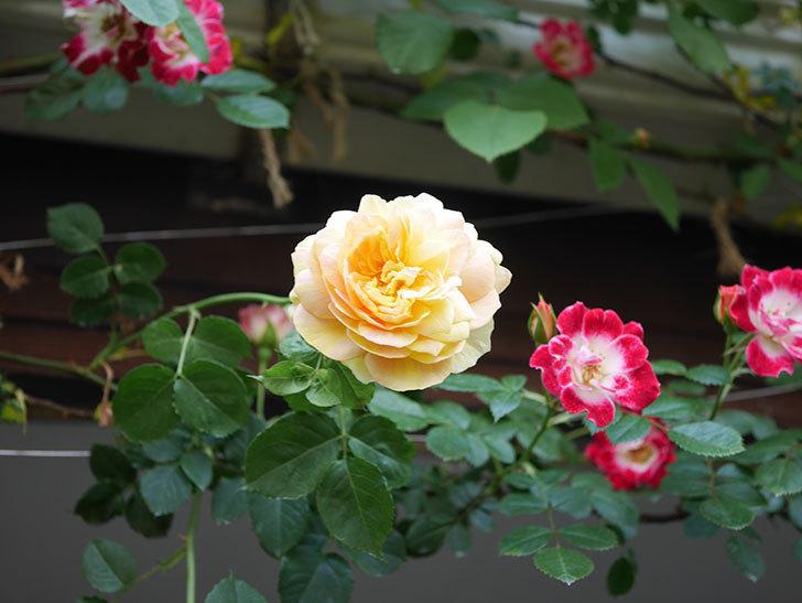 サムズ・アップ(Thumbs Up)の花がたくさん咲いた。半ツルバラ。2021年-030.jpg