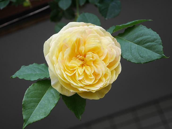サムズ・アップ(Thumbs Up)の花がたくさん咲いた。半ツルバラ。2021年-031.jpg