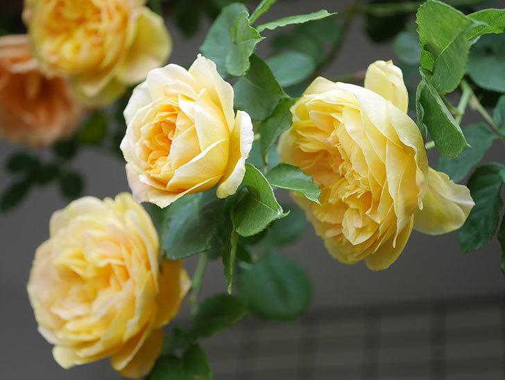 サムズ・アップ(Thumbs Up)の花がたくさん咲いた。半ツルバラ。2021年-032.jpg