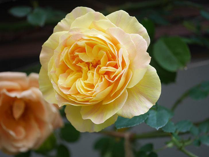 サムズ・アップ(Thumbs Up)の花がたくさん咲いた。半ツルバラ。2021年-034.jpg