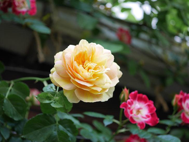 サムズ・アップ(Thumbs Up)の花がたくさん咲いた。半ツルバラ。2021年-035.jpg