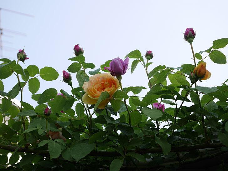 サムズ・アップ(Thumbs Up)の花がたくさん咲いた。半ツルバラ。2021年-036.jpg