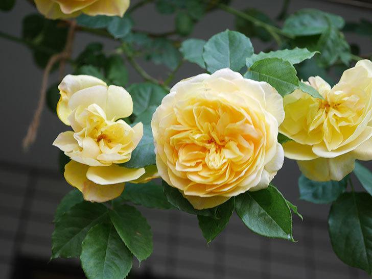 サムズ・アップ(Thumbs Up)の花がたくさん咲いた。半ツルバラ。2021年-037.jpg