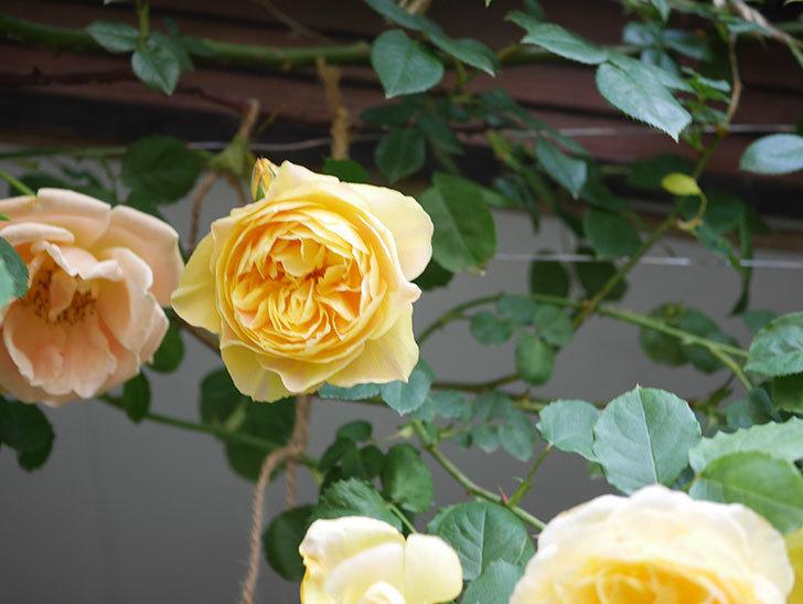 サムズ・アップ(Thumbs Up)の花がたくさん咲いた。半ツルバラ。2021年-038.jpg