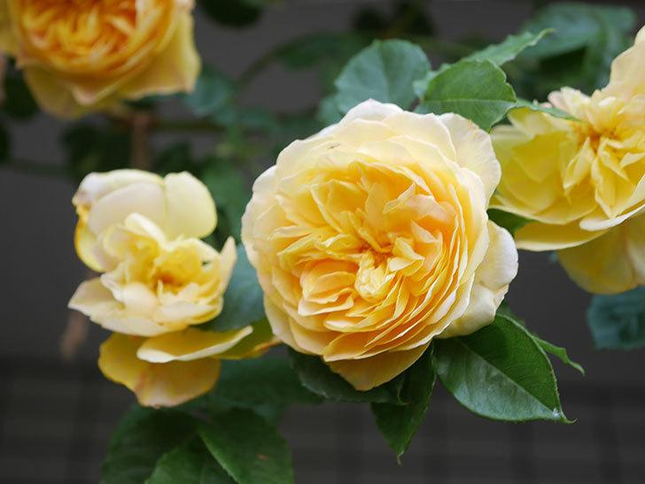 サムズ・アップ(Thumbs Up)の花がたくさん咲いた。半ツルバラ。2021年-039.jpg