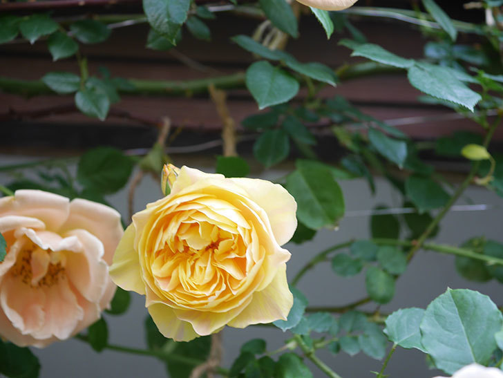 サムズ・アップ(Thumbs Up)の花がたくさん咲いた。半ツルバラ。2021年-040.jpg