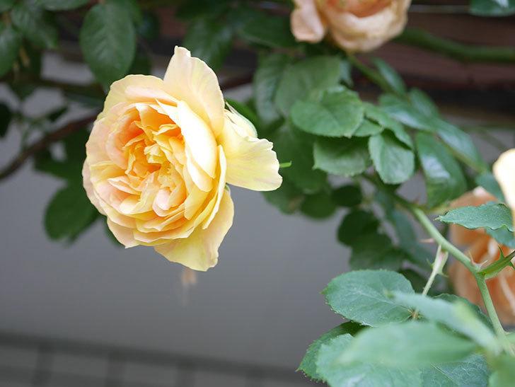 サムズ・アップ(Thumbs Up)の花がたくさん咲いた。半ツルバラ。2021年-041.jpg