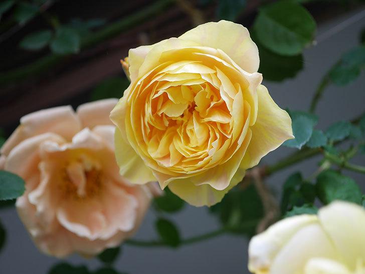 サムズ・アップ(Thumbs Up)の花がたくさん咲いた。半ツルバラ。2021年-043.jpg