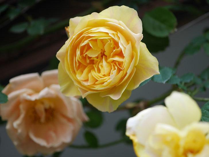 サムズ・アップ(Thumbs Up)の花がたくさん咲いた。半ツルバラ。2021年-044.jpg