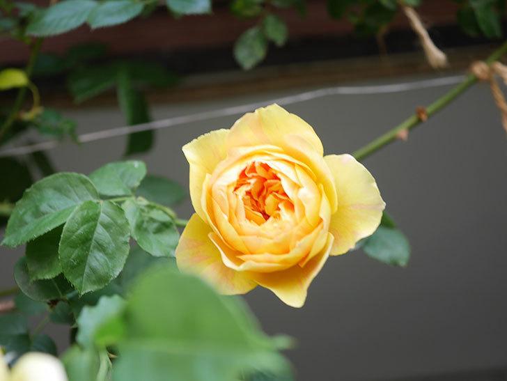 サムズ・アップ(Thumbs Up)の花がたくさん咲いた。半ツルバラ。2021年-045.jpg