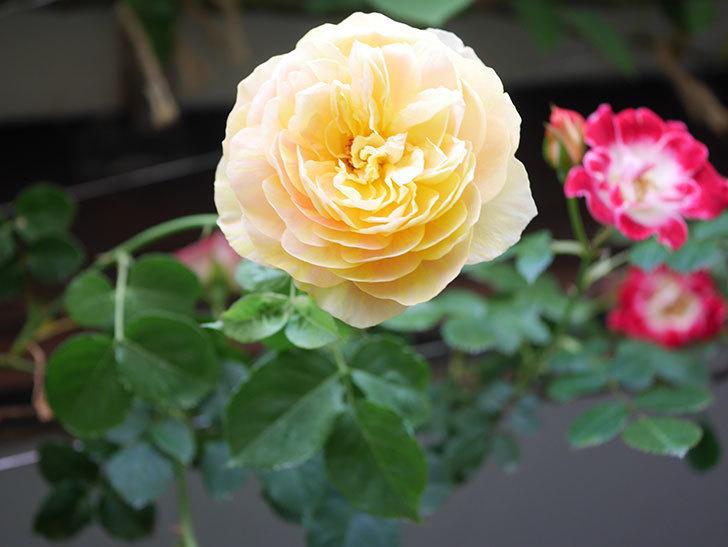 サムズ・アップ(Thumbs Up)の花がたくさん咲いた。半ツルバラ。2021年-046.jpg