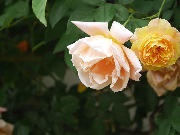 サムズ・アップ(Thumbs Up)の花がたくさん咲いた。半ツルバラ。2021年-047.jpg