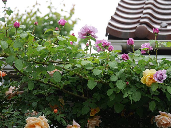 サムズ・アップ(Thumbs Up)の花がたくさん咲いた。半ツルバラ。2021年-048.jpg