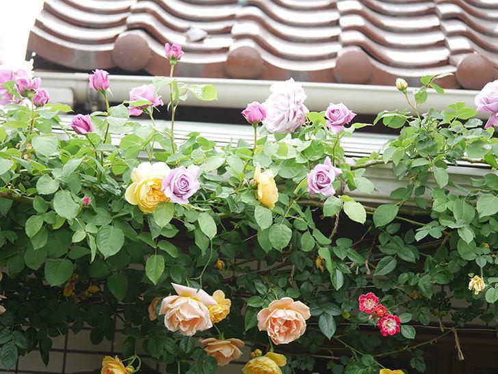 サムズ・アップ(Thumbs Up)の花がたくさん咲いた。半ツルバラ。2021年-049.jpg