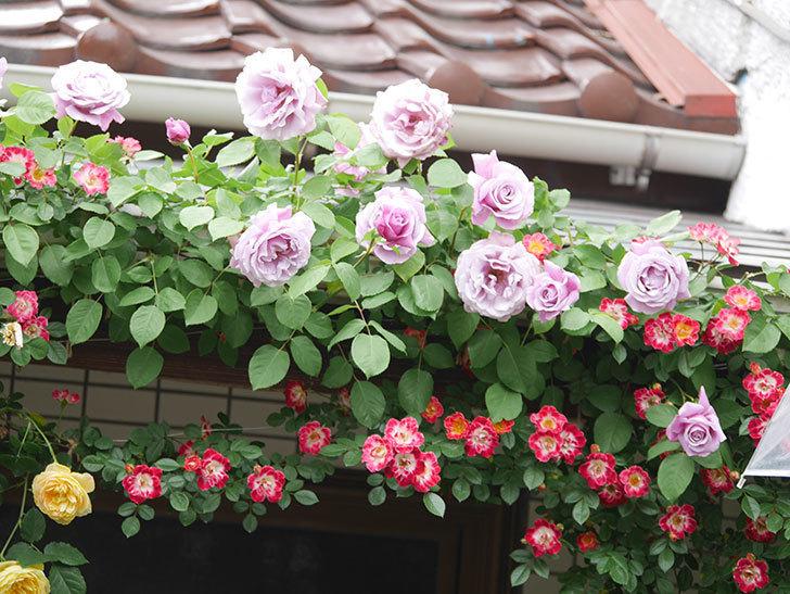 サムズ・アップ(Thumbs Up)の花がたくさん咲いた。半ツルバラ。2021年-050.jpg